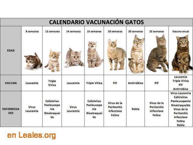 Calendario vacunación para gatos