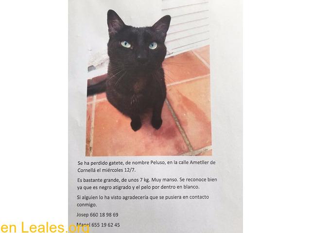 Gatos perdidos • Barcelona • Peluso se perdió en Cornellá • Se ha ...
