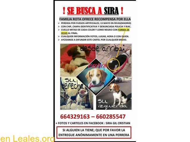 Sira Beagle Perdida en rivas, madrid - 1/1