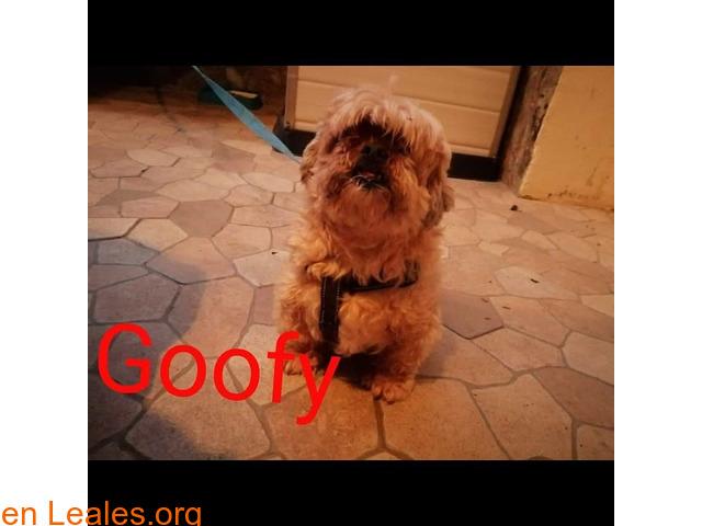 Goofy en Adopción