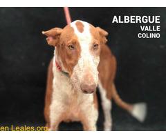 TEXAS ADOPTADA EN ALBERGUE VALLE COLINO - Imagen 2/3