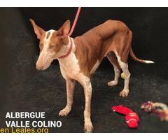 TEXAS ADOPTADA EN ALBERGUE VALLE COLINO - Imagen 3/3