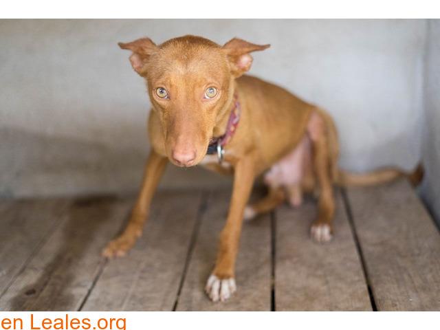 Brownie en adopción