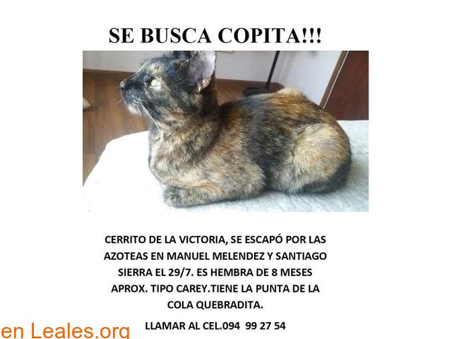 Gatita de 8 meses perdida en Cerrito