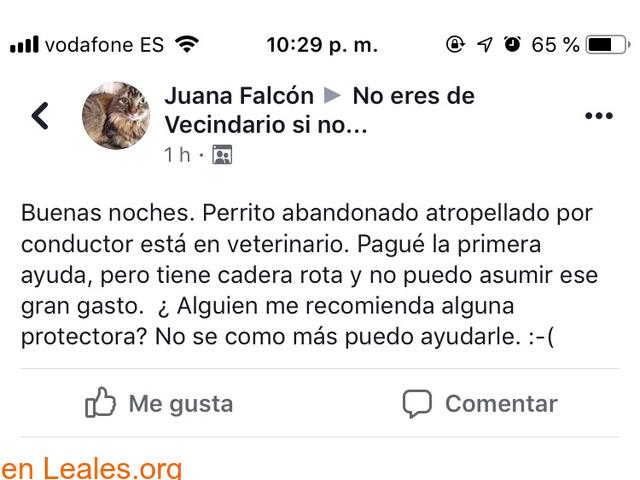 ENCONTRADO TELDE!!    LABRADOR HERIDO!!