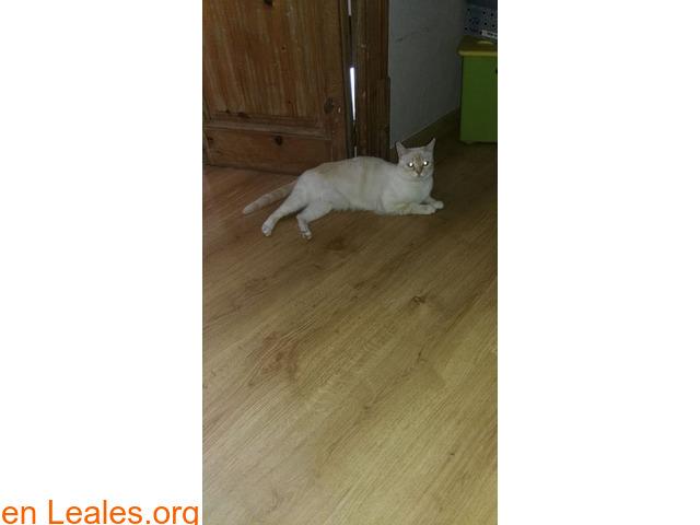 Gatita blanca de cola y orejas anaranjad