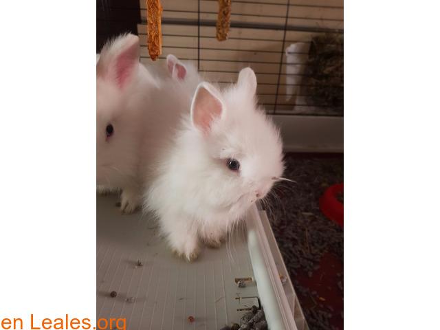 Hemos tenido una camada de conejos toy - 3/4