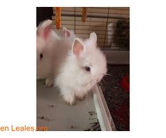 Hemos tenido una camada de conejos toy - Imagen 3/4
