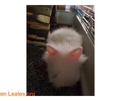 Hemos tenido una camada de conejos toy - Imagen 4/4