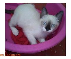 Adopción responsable para gato de 2meses