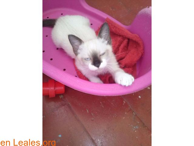 Adopción responsable para gato de 2meses - 2/2