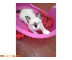 Adopción responsable para gato de 2meses - Imagen 2/2