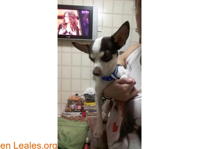 Perro mezcla Chihuahua - 2/2