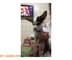 Perro mezcla Chihuahua - Imagen 2/2