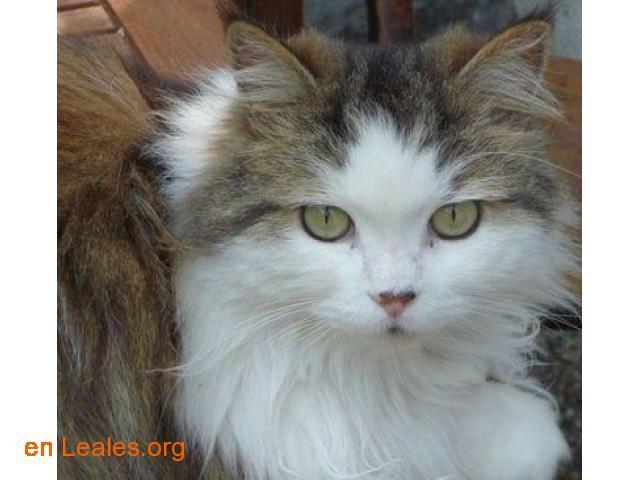 Gato perdido en Béccar-Argentina