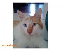 Gato perdido en Chile