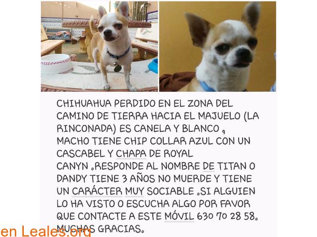 Chihuahua perdido en Sevilla - 1/1
