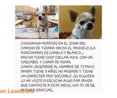 Chihuahua perdido en Sevilla