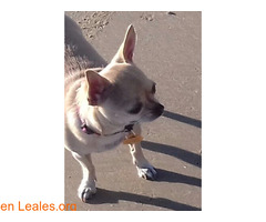 Chihuahua perdida en Rota (Cádiz)