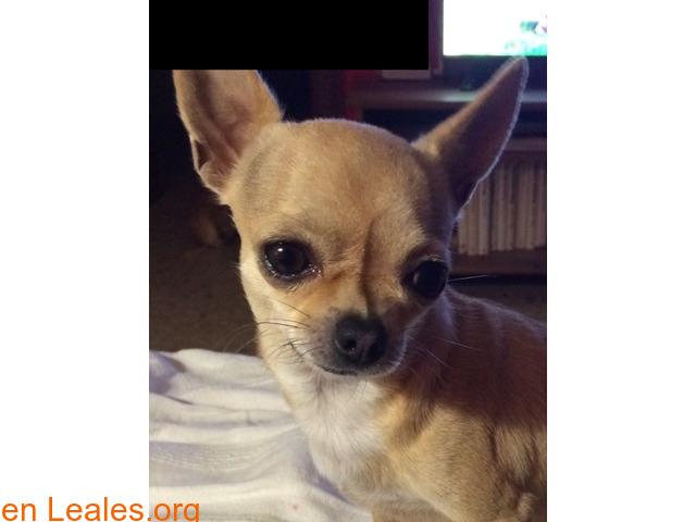 Chihuahua perdida en Rota (Cádiz) - 2/3