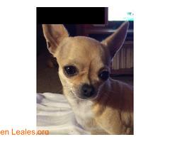 Chihuahua perdida en Rota (Cádiz) - Imagen 2/3