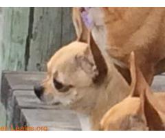 Chihuahua perdida en Rota (Cádiz) - Imagen 3/3