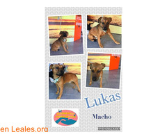 Lukas - Maspalomas Animal Rescue