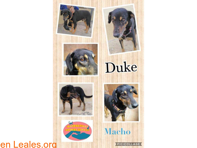 Duke - Maspalomas Animal Rescue - 1