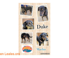 Duke - Maspalomas Animal Rescue