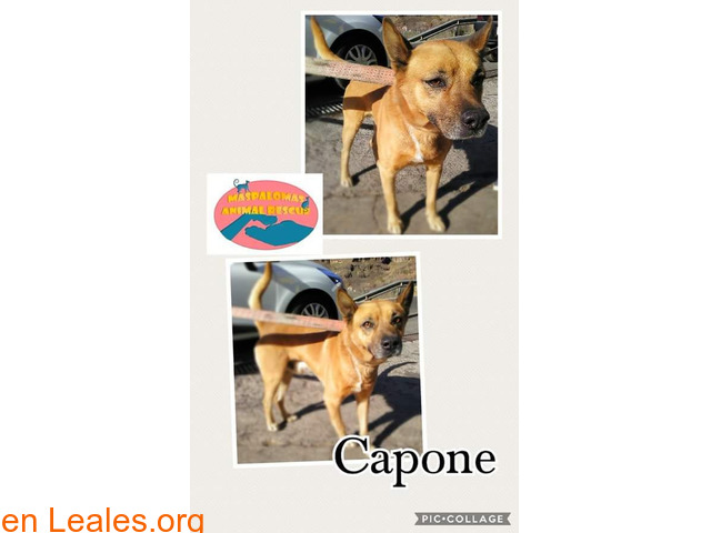 Capone - Maspalomas Animal Rescue - 1