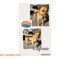 Capone - Maspalomas Animal Rescue