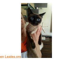 Encontrada gata siamesa de unos dos años