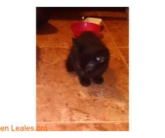 Gatito negro 1 mes