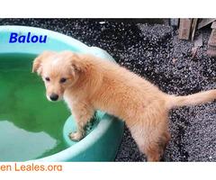 Cachorros en ADOPCIÓN en TENERIFE