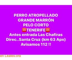 ATROPELLADO PERRO GRANDE TENERIFE.