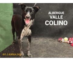 AMELIA ADOPTADA ALBERGUE VALLE COLINO - Imagen 2/3
